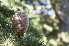 Upright growing cone on the branch of a cedar tree Stock Photography