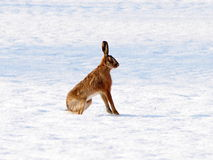 Upright hare in the snow. A wild hare standing alert in the winter snow Stock Images