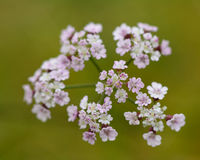 Upright hedge-parsley (Torilis japonica). Plant in the carrot family (Apiaceae), in with umbel of white flowers Stock Photo