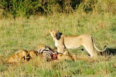 A upright lioness and cubs eating killed zebra Royalty Free Stock Photography
