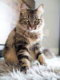 Upright marmorerad katt på Grey Fur Rug royaltyfria bilder