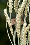 Upright format of a small harvest mouse on corn royalty free stock image
