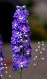 Upright Purple Delphium Stock Photo