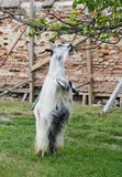 Upright standing goat. Goat staying on rear legs eating green walnuts Royalty Free Stock Photography