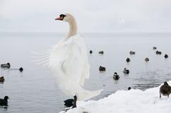 Upright White Swan - Bled - Slovenia Stock Photo