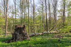 Uprooted birch tree Stock Image