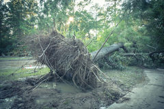 Uprooted Oak Tree Royalty Free Stock Photos