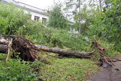 Uprooted poplar after strong winds Stock Photos