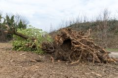 uprooted tree royaltyfri bild