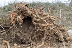 uprooted tree royaltyfria foton