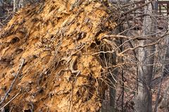 Uprooted Tree Royalty Free Stock Photos