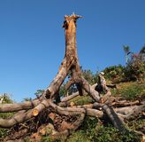 Uprooted Tree Stock Images