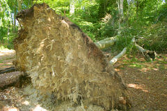 Uprooted Tree. A fallen beech tree brought down by hurricane strength winds displays its shallow root system Royalty Free Stock Image