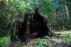 uprooted tree Royaltyfri Foto