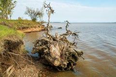 uprooted tree Arkivbild