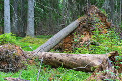 Uprooted tree in a ancient forest Royalty Free Stock Photo
