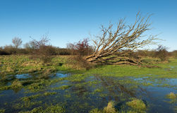 Uprooted tree with bare branches reflected in the water Royalty Free Stock Photos