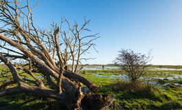 Uprooted tree with bare branches in a swampy are Royalty Free Stock Photo