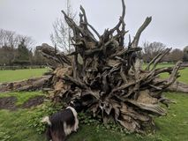 Uprooted tree at Buttercups Goat Sanctuary Maidstone, Kent, UK United Kingdom. Uprooted tree roots, brown, goat, furry coat brown white grass green trees fence Stock Images