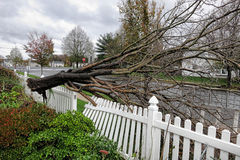 Uprooted Tree Crashes in Yard from Hurricane Sandy. FLORENCE, NJ, USA, OCTOBER 30, 2012 - Uprooted tree crashes in house yard and damages fence from hurricane stock photography
