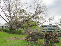 Uprooted tree after Cyclone Yasi in Townsville, Australia Stock Image