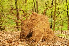 Uprooted tree Royalty Free Stock Image