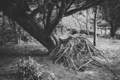 Uprooted Tree in Forest Showing Roots. Black and White stock image