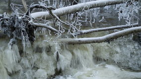 The uprooted tree in the forest. With the snow covering it in the river of Lahemma stock footage