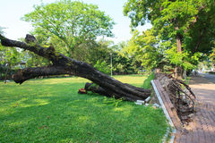 Uprooted tree in park Royalty Free Stock Photography