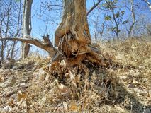 Uprooted tree. This is the photo of a tree which is uprooted due to soil erosion Royalty Free Stock Photos