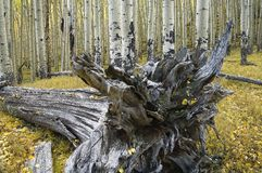 Uprooted tree and quaking Aspens, Flagstaff, Arizona. Intricate details of n uprooted tree are shown as it lies in a forest of quaking Aspens during the fall Royalty Free Stock Images