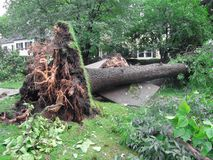Uprooted Tree from a Storm. Damage to a tree and sidewalk created by a severe storm
