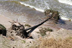 Uprooted Tree from a Storm Royalty Free Stock Images