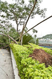 Uprooted  tree after typhoon Royalty Free Stock Images