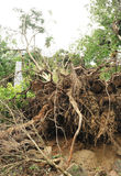 Uprooted tree by typhoon Stock Images