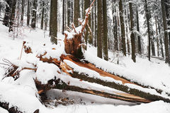 Uprooted tree in winter Stock Photography