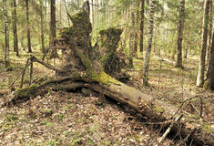 Uprooted trees. Royalty Free Stock Images
