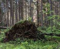 Uprooted trees. Fallen pine tree in the forest. Forest landscape Royalty Free Stock Photography