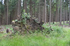 Uprooted trunk in forest Royalty Free Stock Photos