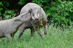 Upset babirusa 2 Stock Photography