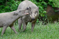 Upset babirusa Royalty Free Stock Image