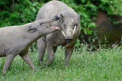 Upset babirusa Royalty Free Stock Image