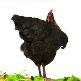 Upset chicken Royalty Free Stock Images