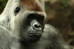 Upset gorilla close up portrait. Portrait of a male gorilla taken in Tenerife Stock Photography