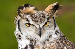 Upset Great Horned Owl Royalty Free Stock Images