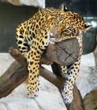 Upset jaguar Stock Image