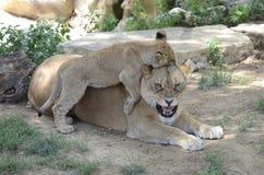 Upset mother lion2 Stock Photo
