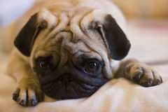 Upset puppy pug. With bir eyes royalty free stock images