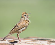 Upset. A Rufous-naped Lark with shouts with beak wide open Royalty Free Stock Photo