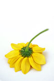 Upside Down. Cutoff yellow flower laying upside down in a white background royalty free stock images